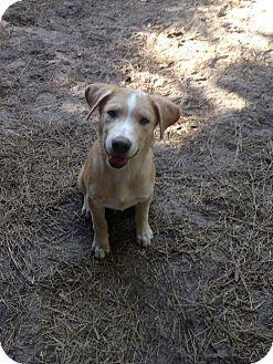 Husky/Labrador Retriever Mix Puppy for adoption in Groveland, Florida - Tonka
