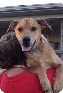 Shepherd (Unknown Type)/Labrador Retriever Mix Puppy for adoption in Medora, Indiana - Scooby