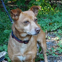 Adopt A Pet :: BROWNIE - Millerstown, PA