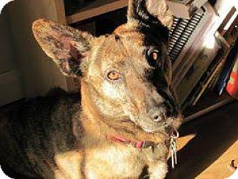 American Eskimo Dog/Dachshund Mix Dog for adoption in Waldorf, Maryland - Tasha