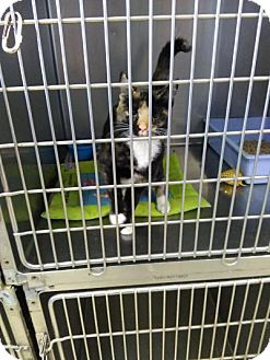 Domestic Shorthair Cat for adoption in Sauk Rapids, Minnesota - Teela