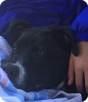 Labrador Retriever/Retriever (Unknown Type) Mix Dog for adoption in Mahopac, New York - Macie