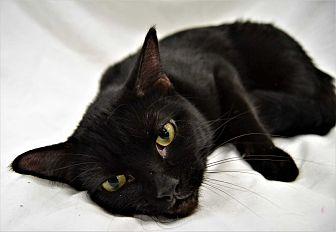 Domestic Shorthair Cat for adoption in Michigan City, Indiana - Jaguar