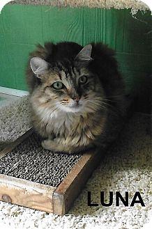 Domestic Mediumhair Cat for adoption in Medway, Massachusetts - Luna