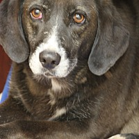 Adopt A Pet :: Brownie Wilson - Hooksett, NH