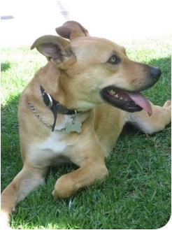 Labrador Retriever/Rhodesian Ridgeback Mix Dog for adoption in Poway, California - Honey