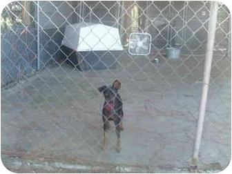 Miniature Pinscher Dog for adoption in Cairo, Georgia - MIni