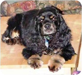 Cocker Spaniel Dog for adoption in Osseo, Minnesota - Sara