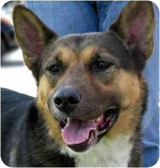 German Shepherd Dog Mix Dog for adoption in Overland Park, Kansas - Rusty