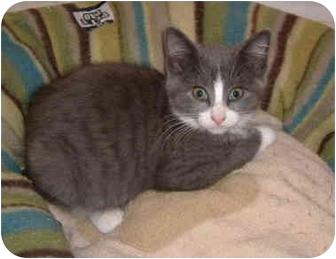 Domestic Shorthair Kitten for adoption in Colmar, Pennsylvania - Lynn