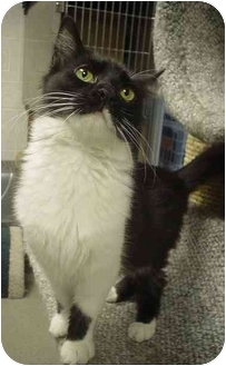 Domestic Longhair Cat for adoption in North Kingstown, Rhode Island - Tabitha