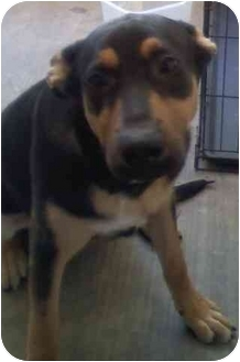German Shepherd Dog/Rottweiler Mix Puppy for adoption in Las Vegas, Nevada - Emmett