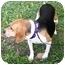 Photo 4 - Beagle Dog for adoption in Osseo, Minnesota - Sophie