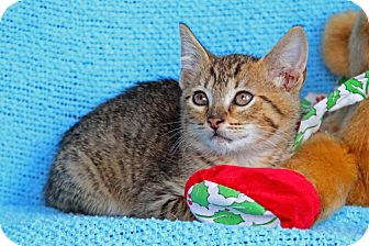 Domestic Shorthair Kitten for adoption in Tillamook, Oregon - Jasper