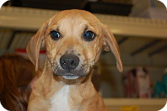Beagle/Chihuahua Mix Puppy for adoption in Lexington, Kentucky - James