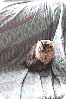 Domestic Longhair Cat for adoption in Rawlins, Wyoming - Quincy