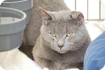 Russian Blue Cat for adoption in Trevose, Pennsylvania - Marlow