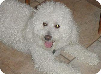 Bichon Frise Dog for adoption in Gilbert, Arizona - Teddy