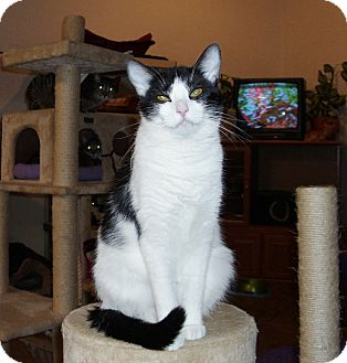 Domestic Shorthair Cat for adoption in Port Clinton, Ohio - Angie