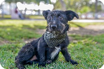 Terrier (Unknown Type, Small) Mix Puppy for adoption in El Cajon, California - SUSIE, watch my video!