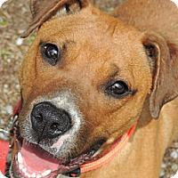 Adopt A Pet :: Stevie URGENT  REDUCED - Brattleboro, VT