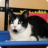 Adopt A Pet :: Domino - Farmingdale, NY