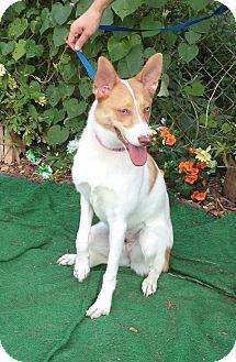 Basenji Mix Dog for adoption in Marietta, Georgia - MACY  - adopted @ off-site