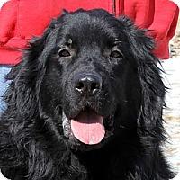Adopt A Pet :: Barley - Lee's Summit, MO