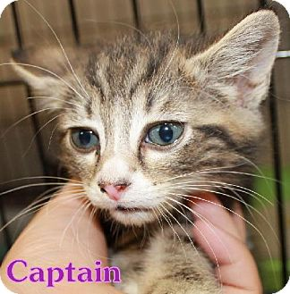 Domestic Shorthair Cat for adoption in Lewisburg, West Virginia - Captain
