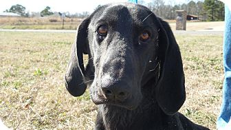 Labrador Retriever/Basset Hound Mix Dog for adoption in Oakville, Connecticut - Stagecoach