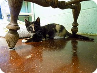 Calico Kitten for adoption in Carencro, Louisiana - Sylvie