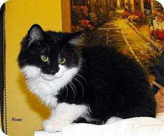 Domestic Mediumhair Cat for adoption in Napoleon, Ohio - River