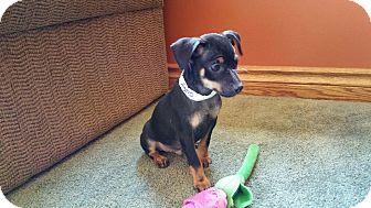 Chihuahua/Dachshund Mix Puppy for adoption in China, Michigan - Astro