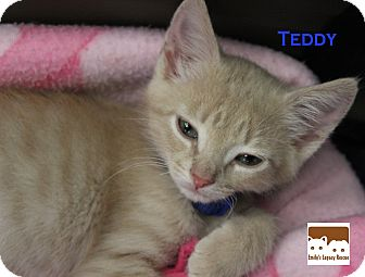 Domestic Mediumhair Kitten for adoption in Wichita Falls, Texas - Teddy