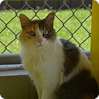 Calico Cat for adoption in New Iberia, Louisiana - Lara