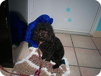 Poodle (Miniature) Mix Dog for adoption in Newburgh, Indiana - Angel