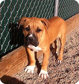 Boxer/Pit Bull Terrier Mix Puppy for adoption in Colorado Springs, Colorado - Bizby