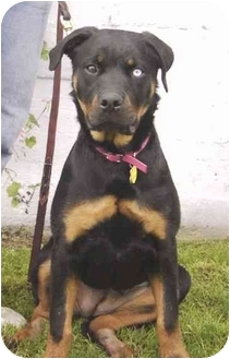 Rottweiler Mix Dog for adoption in West Los Angeles, California - Moonshine