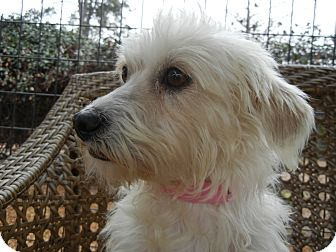Poodle (Miniature)/Terrier (Unknown Type, Small) Mix Dog for adoption in Houston, Texas - Cynthia