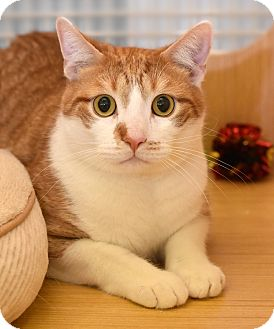 Domestic Shorthair Cat for adoption in Chicago, Illinois - Liam
