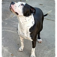 American Staffordshire Terrier Dog for adoption in Beaumont, Texas - Rebecca
