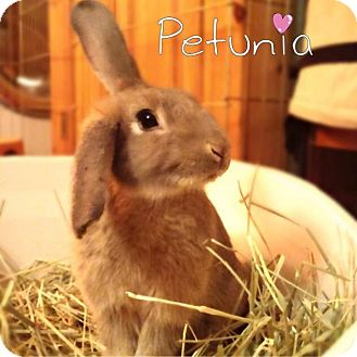 Lop-Eared Mix for adoption in Los Angeles, California - Petunia