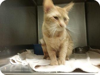 Domestic Shorthair Cat for adoption in Muskegon, Michigan - atticus