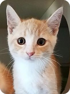 Domestic Shorthair Kitten for adoption in Colfax, Iowa - Clyde