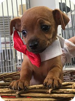 Chihuahua Mix Puppy for adoption in Montclair, California - Lincoln
