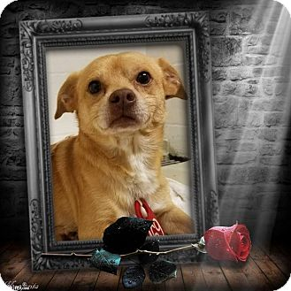 Chihuahua/Terrier (Unknown Type, Small) Mix Dog for adoption in Seattle, Washington - What about Toby
