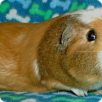 Adopt A Pet :: Daisy - Steger, IL