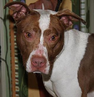 Spaniel (Unknown Type)/American Pit Bull Terrier Mix Dog for adoption in Westminster, Maryland - Kelly