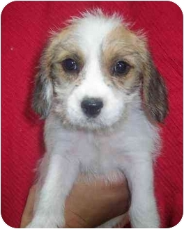 Shih Tzu/Schnauzer (Miniature) Mix Puppy for adoption in Nashville, Tennessee - Lacie- Adopted