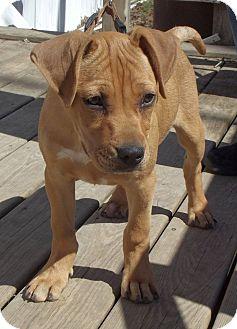 Basenji/Mastiff Mix Puppy for adoption in Cabool, Missouri - Copper
